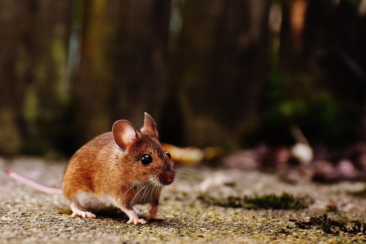 nature sweet mouse animal cute wildlife 478409 pxhere com